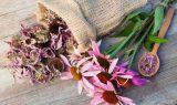 echinacea_kasvirág